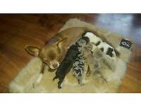 Pedigree Chihuahua puppies