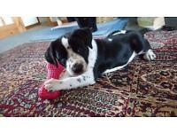 Dalmatian x border collie puppy