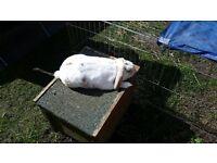 £100 REWARD for safe return of white rabbit missing/stolen from Wythenshawe