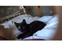 13 week old kitten for sale royton