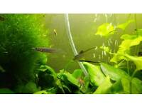 Tropical fish Livebearers wrestling halfbeak dermogenys pusilla