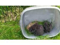 Baby rabbits.lion head.mini lop mixed