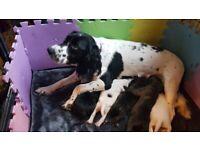 Spaniel x staffordshire bull terrier pups