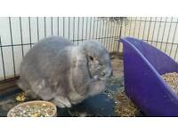 Female giant French lop rabbit