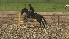 Gentle friendly 16 hh to 7 year old mare - great potential