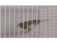 cock bird canary + brand new cage