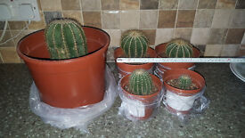 Parodia Magnifica Cactus Plants,various sizes&prices between £0.75p-£4.,all home grown