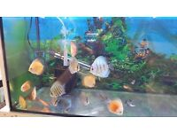 "Discus for sale 2-3"" tropical fish Derby"