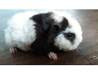 For sale guinea pigs