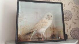Stuffed owl in case
