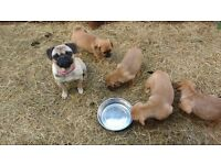 Beautiful puggle puppys for sale
