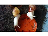 2 Giant African Land Snails