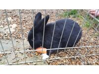 Rabbit- male, hutch, weather cover, bottle, bowls, food and haye