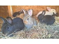 9 baby rabbits for sale