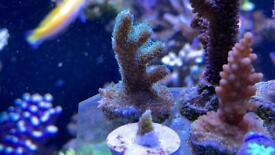 Coral frag SPS seriatopora hystrix