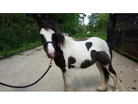 14 month old piebald colt currently 12hh fantastic temperament perfect childs pony