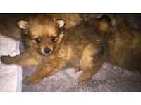 Pomeranian pupps 9 weeks old. All standard got the mam and dad here to show.