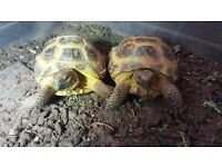 2 x horsefield tortoises