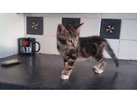Kittens for sale £50each