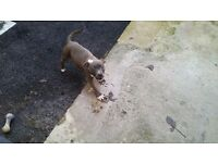 Staffordshire Bull Terrier Bitch for sale