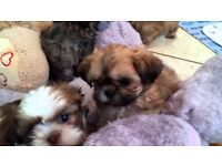 shih tzu puppies for sale 400