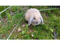 Baby mini lop rabbit