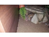Leopard Gecko + Vivarium & Accessories