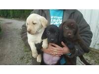 Chocolate and golden labrador puppies