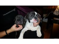 Two French Bulldogs for sale