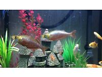 2 red rainbow fish