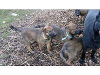 German shepherd cross pups