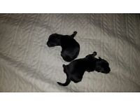 Chihuahua cross Jack russell puppies. ALL RESERVED.