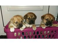 Beautiful jug puppies for sale.