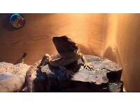 Viv with dragon for sale