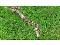 Female Western hognose snake