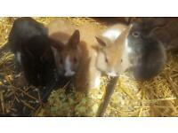 c6e653e49492 Small furry pets for sale in Dudley