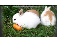 English Spot baby Rabbits