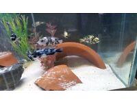 Neochromis omnicaeruleus Makobe OB WB