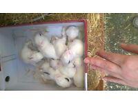 Beautiful dwarf De hotot bunnies