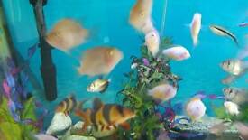 PARROT TROPICAL FISH