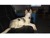 7 month old Siberian husky