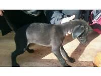Bedlington whippet x Bedlington whippet collie greyhound last one left