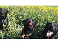 Dog Walking Service & Part Time Dog Walker Required Luton area