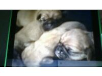 x6 beautiful pugalier for sale