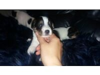 Jack russell puppies for sale (ready from 24th nov)