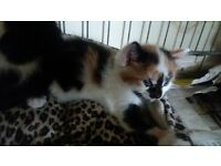 adorable little kittens, tortoishell, b/w. kilsyth