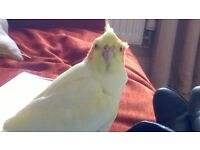Lost Cockatiel / Please contact if found