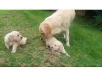 4 Lovely Golden Retriever Puppies For Sale
