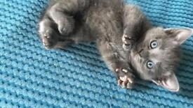 Beautiful Blue Kittens for Sale