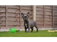 L1 carrying testable boy French bulldog